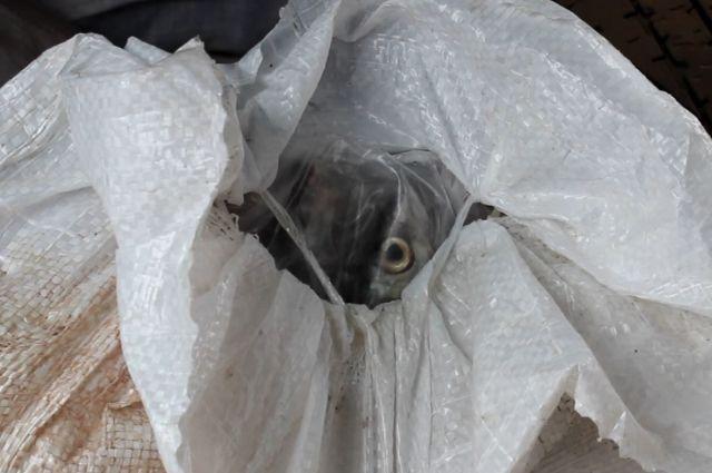 Запрет на вылов омуля не спасёт, если не победить браконьеров.