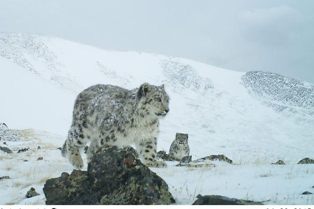 Наиболее значимые виды, на территории Красноярского края, занесенные в Красную книгу России и Красноярского края - манул и снежный барс.