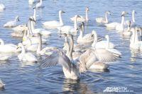 Лебеди на незамерзающем озере.