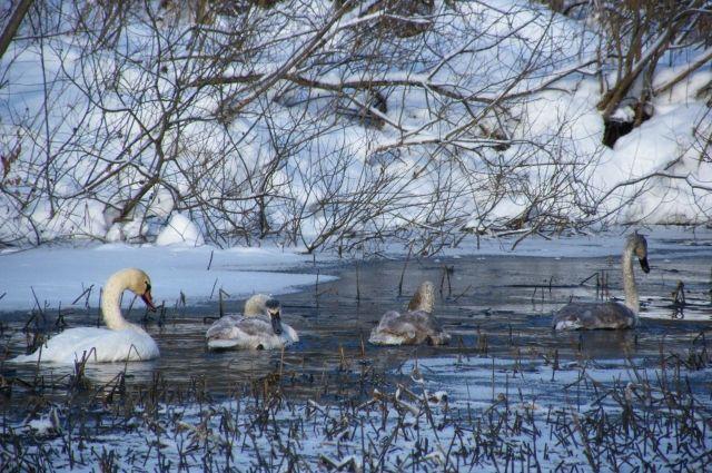 На незамерзающем озере на Алтае зимуют лебеди