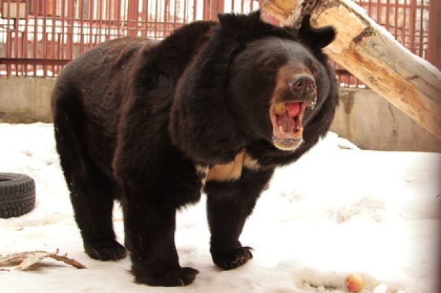 Медведь-шатун отказывается уходить изприморского поселка