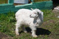 Помимо коз, в зоопарке также живут кролики, свинки и куры.