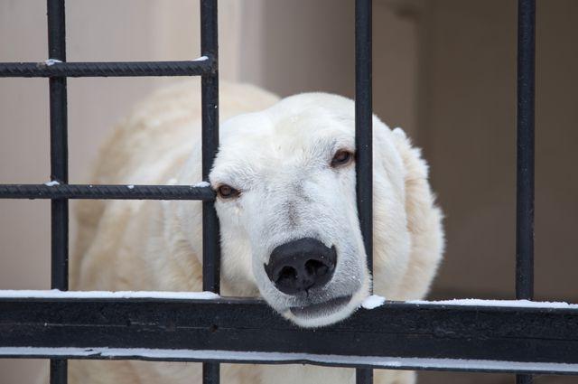 Белая медведица Малышка - достопримечательность казанского зооботсада.