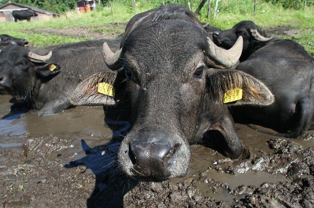 Найденные в Адыгее таинственные черепа принадлежат буйволам - ученый
