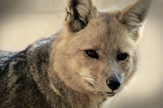 Гражданин Перми попал вреанимацию после укуса бешеной лисы