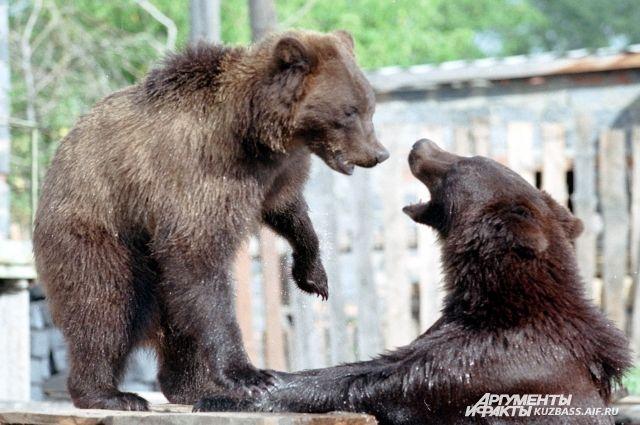 Шорские охотники всегда считали, что медведь понимает человека, и старались его обмануть.