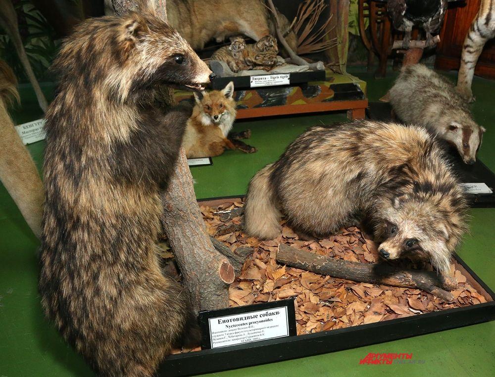 Енотовидная собака, лисица и барсук.