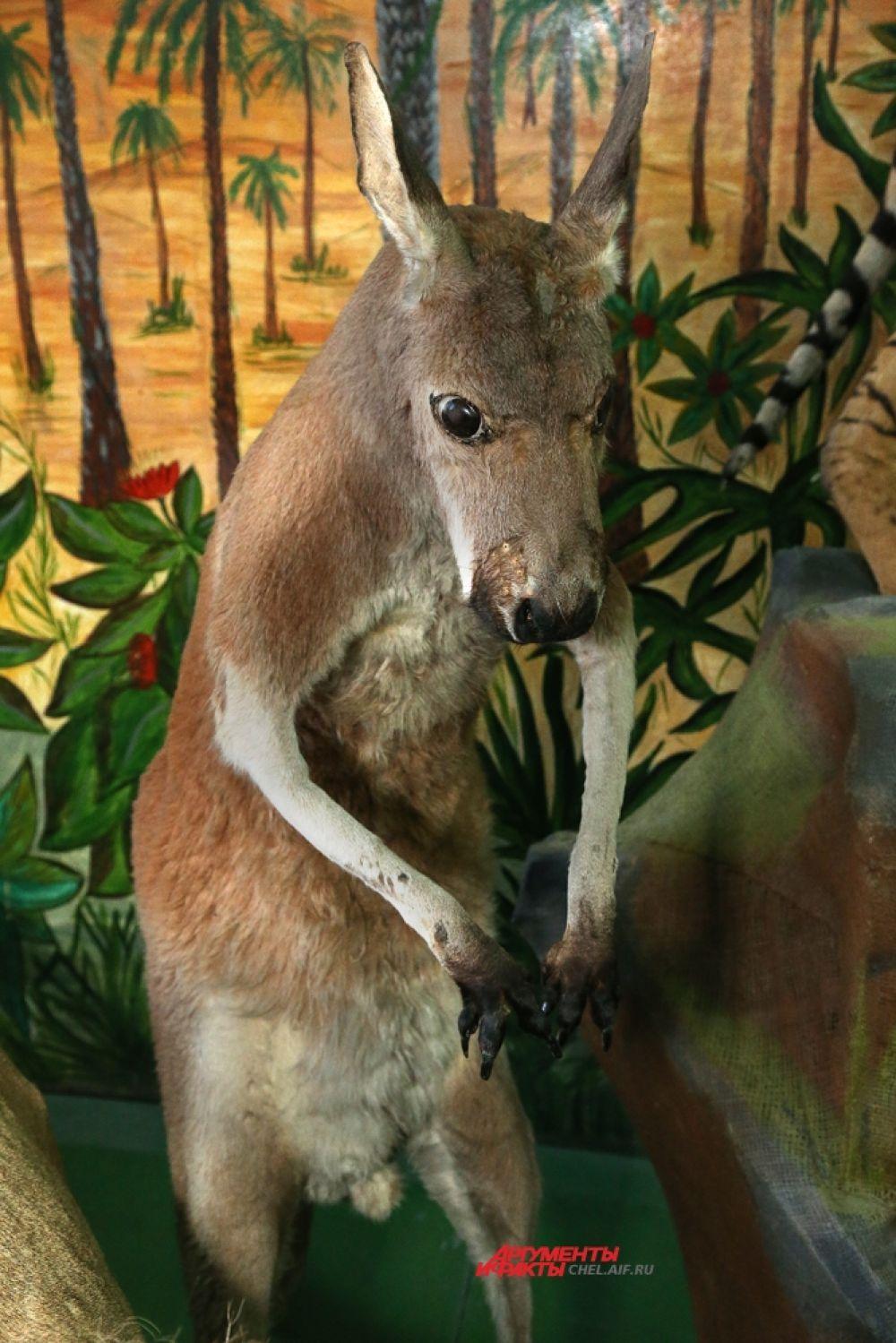 Кенгуру – когда-то жил в челябинском зоопарке.