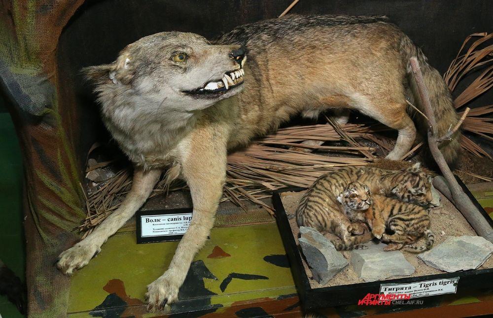 Волчица -  тоже артистка челябинского цирка. Рядом тигрята.