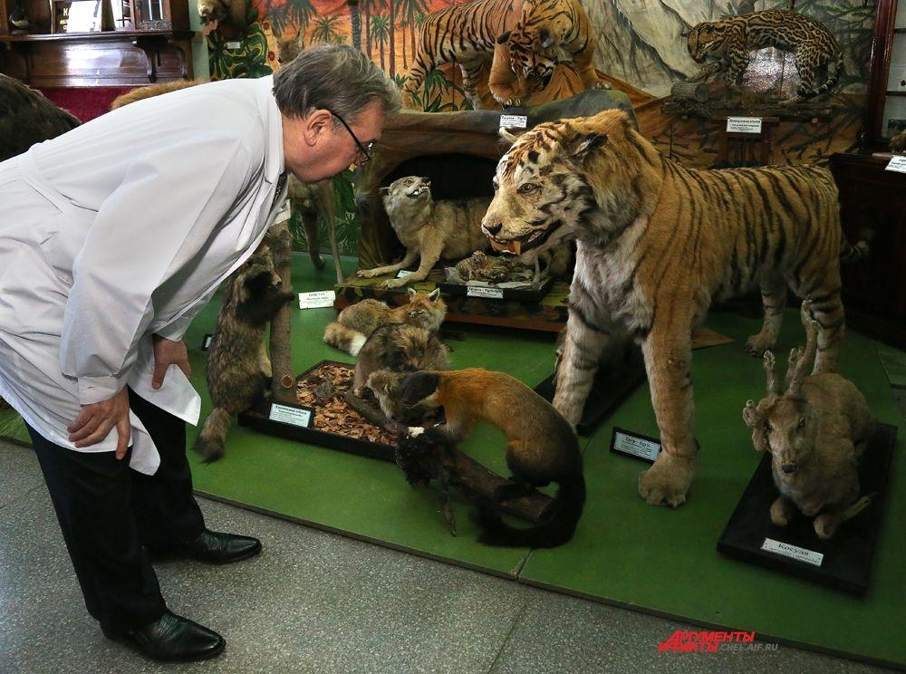 Чучело амурского тигра. Это один из трех артистов челябинского цирка. Волк, львица и тигр выходили на арену всегда вместе.  Этот тигр в музей был отправлен после выхода на пенсию в 1989 году.