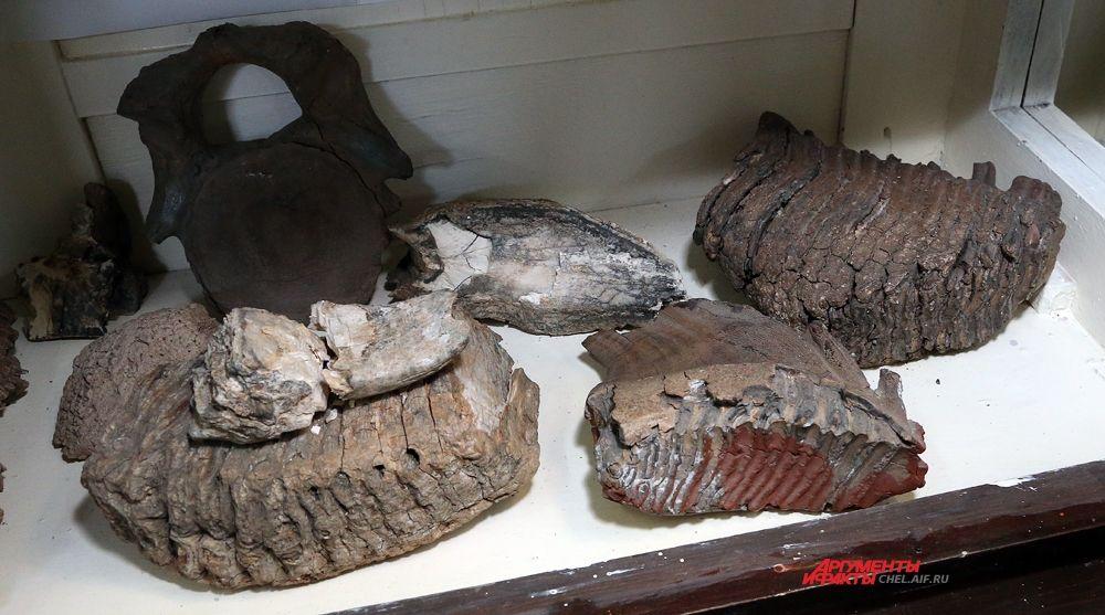 У мамонта было всего 4 зуба, но огромных. 1 зуб на длинной во всю челюсть.  Возраст мамонта считали по складкам на зубе мамонта. Нашему экземпляру было порядка 18-20 лет.