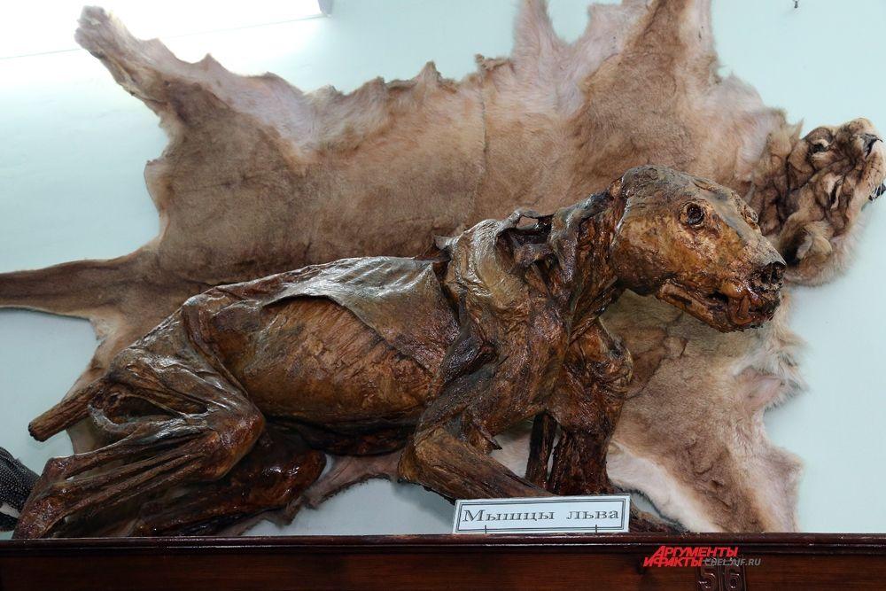 Львица из челябинского зоопарка служат людям и после смерти – наглядный экспонат для изучения мышц хищника.