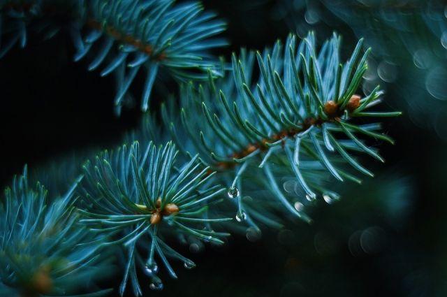 ВВолгоградской области заготовили 15 000 новогодних сосен