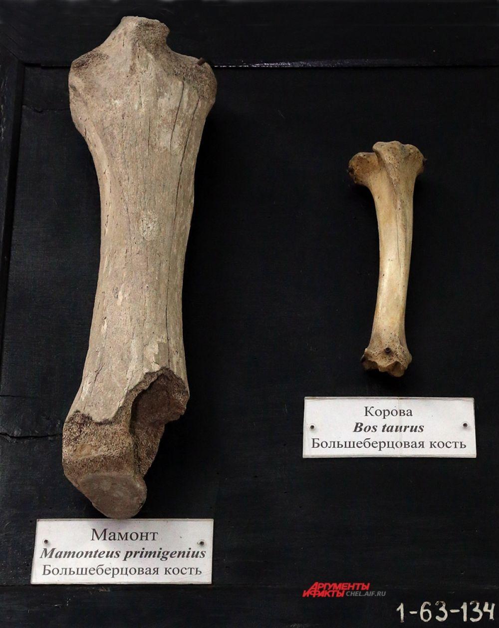 Большая берцовая кость мамонта и коровы красноречиво говорит нам о соотношении размеров этих двух животных.