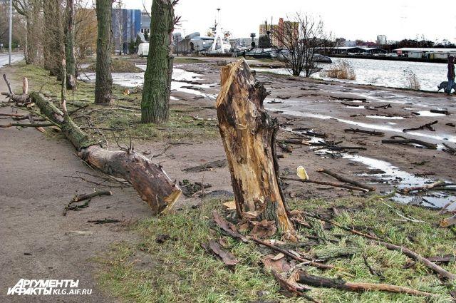 Калининградец получил травмы после наезда на упавшее на дорогу дерево.