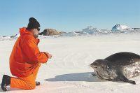На станции «Прогресс» полярник дружил не только с тюленями, но и с императорскими пингвинами, чья многочисленная колония располагалась в 25 км от станции.