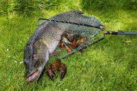 Щук разводят рыбные хозяйства, но если есть своя удочка, то проще выйти к реке и наловить.