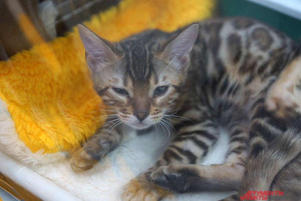 Международная выставка кошек открылась на новой площадке Пермской ярмарки в субботу, 10 декабря.