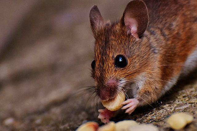 ВУдмуртии зафиксирована вспышка мышиной лихорадки