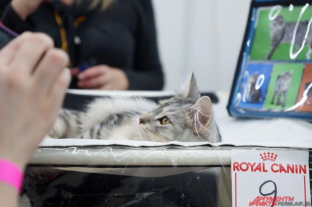 В рамках выставки состоятся WCF-ринги (World Cat Federation), монопородные шоу и аджилити, то есть преодоление кошкой препятствия на скорость.