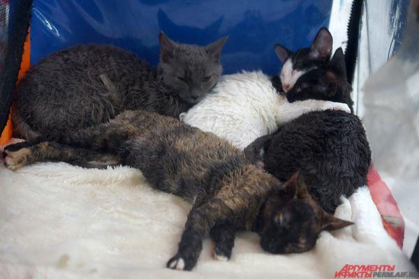 Кошки породы уральский рекс.
