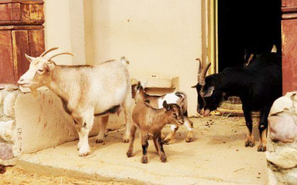 Целых 12 козлят появились у камерунских коз.