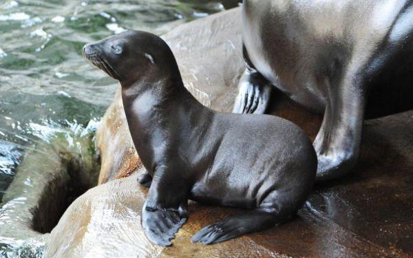 Калифорнийский морской львенок Дамир.