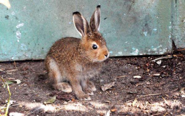 Двое зайчат родились у зайцев-беляков.