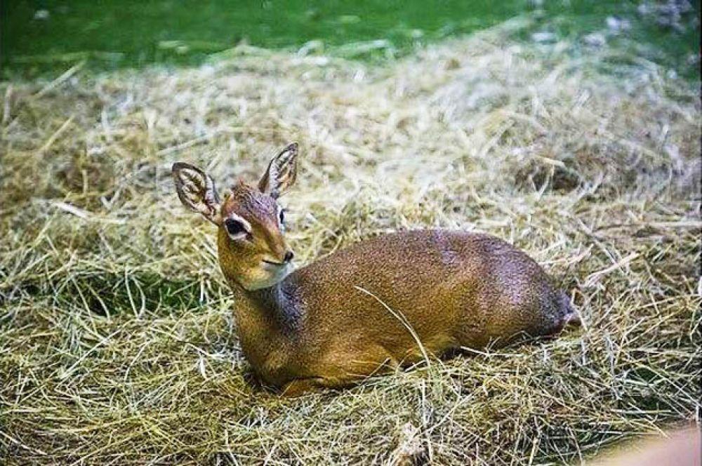 И наконец, 8 декабря в зоопарке появилась на свет миниатюрная антилопа дикдик.