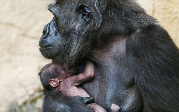 У гориллы Киры появилась девочка.
