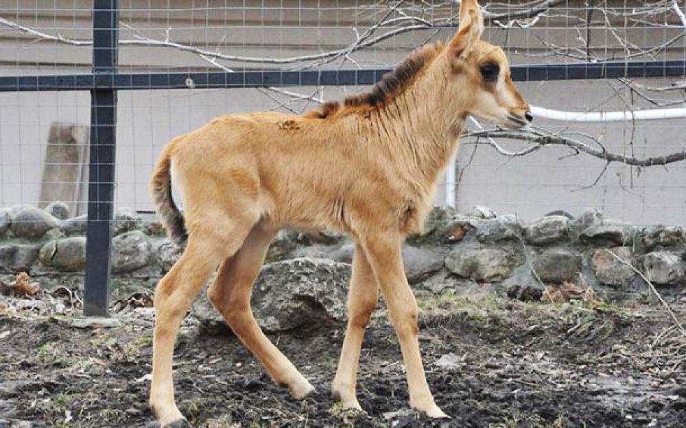 У  трех черных антилоп родились детеныши: два мальчика и одна девочка.