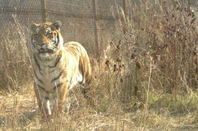 Граждане Приморья волнуются зажизнь амурского тигра-бродяги