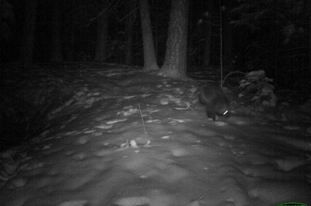 Нынешняя зима благоприятна для этого редкого хищника.