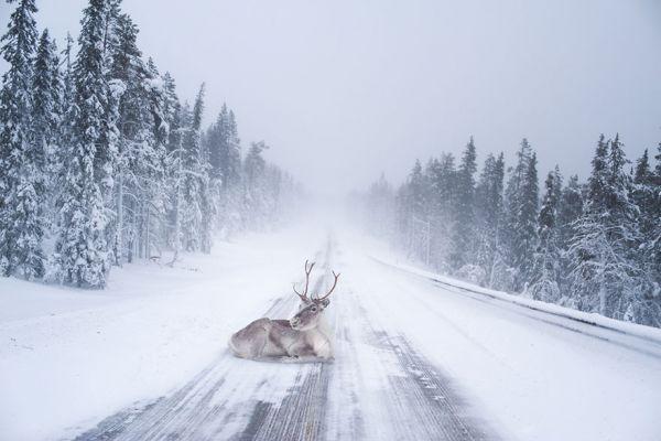 Просто олень посреди дороги. Видимо, машины не часто здесь проезжают