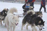 Гонки на собачьих упряжках - одна из фишек отдыха на Урале.