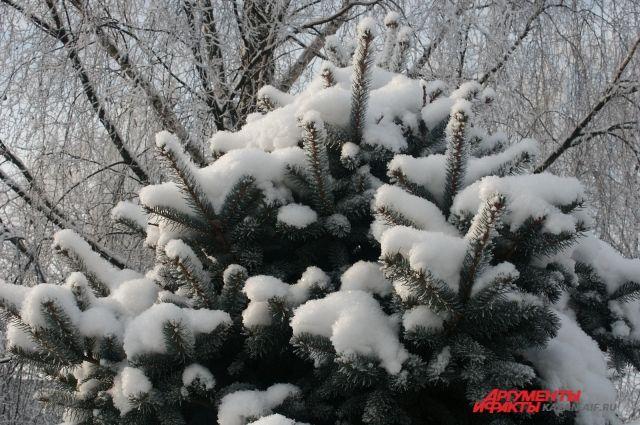 За срубленные на Куршской косе елки могут возбудить уголовные дела