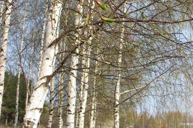 «Черного лесоруба» поймали в Алтайском крае