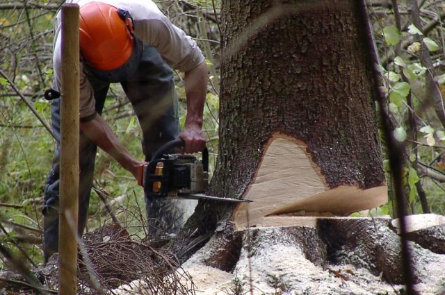 Бизнесмен, нелегально вырубивший лес на11 млн руб., отправится вколонию