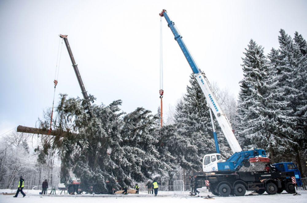 Подготовка к транспортировке главной новогодней ели России, срубленной на территории Истринского лесничества.