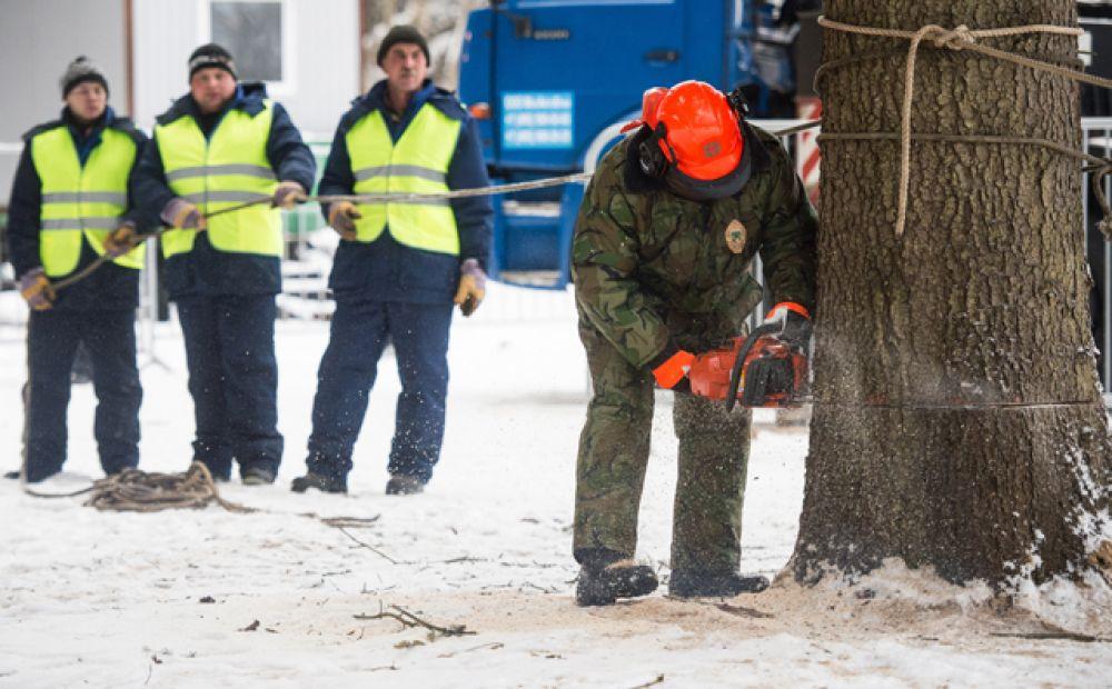 Конкурсная комиссия предъявила к дереву очень много требований, среди которых, например, была способность выдерживать перепады капризной московской погоды.