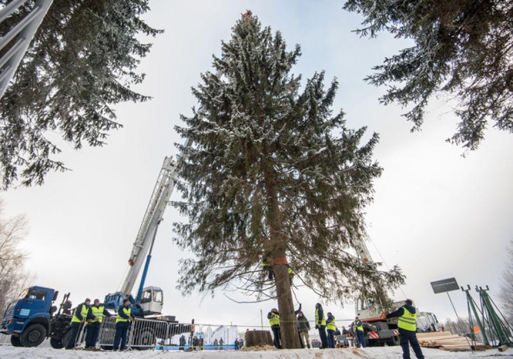 Уже второй год новогоднее дерево отправляют в Кремль из Истринского лесничества.