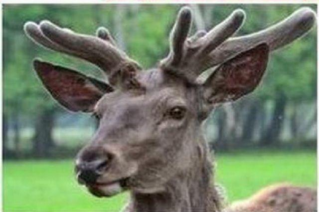 Браконьер застрелил благородного оленя вЛипецкой области