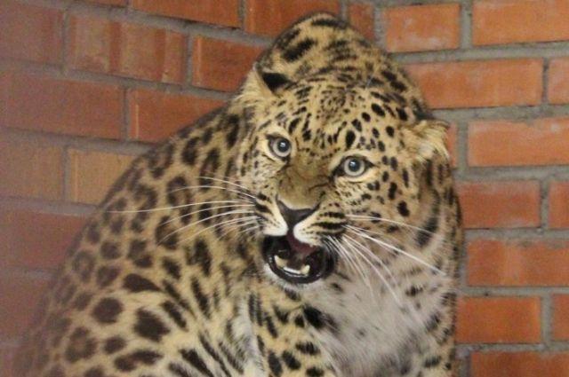 Леопард напал на зрительницу.