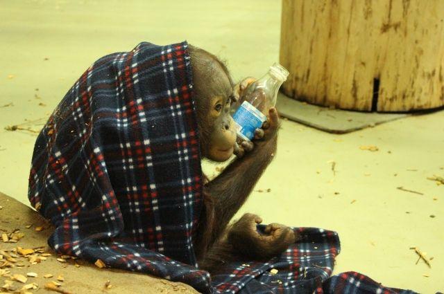 Граждан Калининграда просят поделиться одеялами ипледами сорангутанами