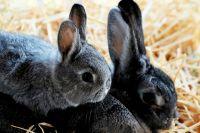 В хозяйстве была построена ангарная кроликоферма и приобретены кролики.