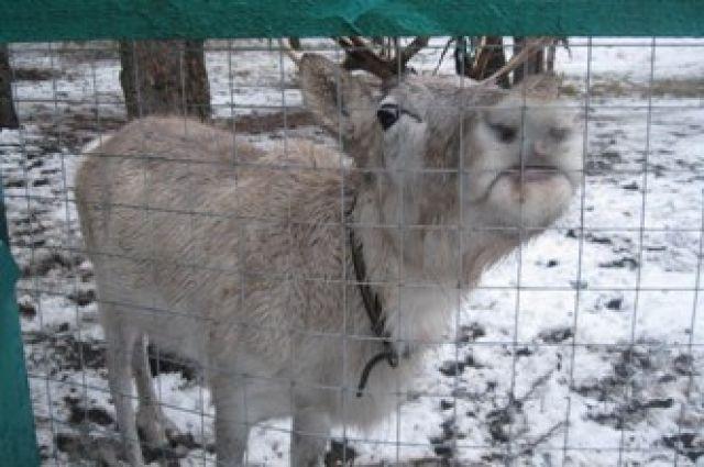 ВВоронежский зоопитомник «Червленый яр» привезли олениху