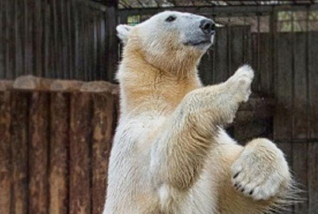 Белый медведь появился в Пензенском зоопарке в 2012 году.