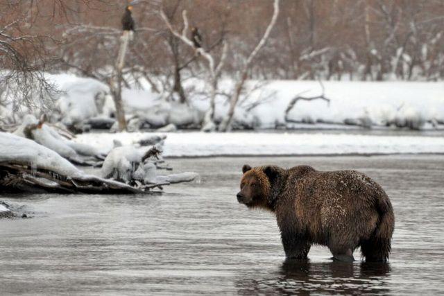 Один изподозреваемых вубийстве медведя вЯкутии пояснил ихдействия