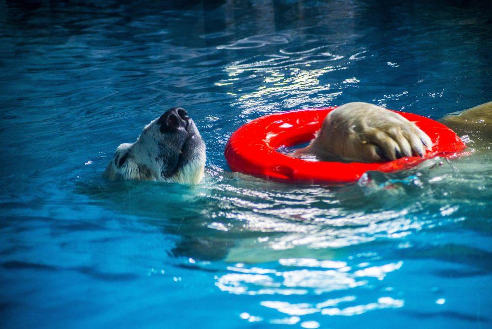 В ожидании реконструкции казанского зоопарка белые медведи много плавают.