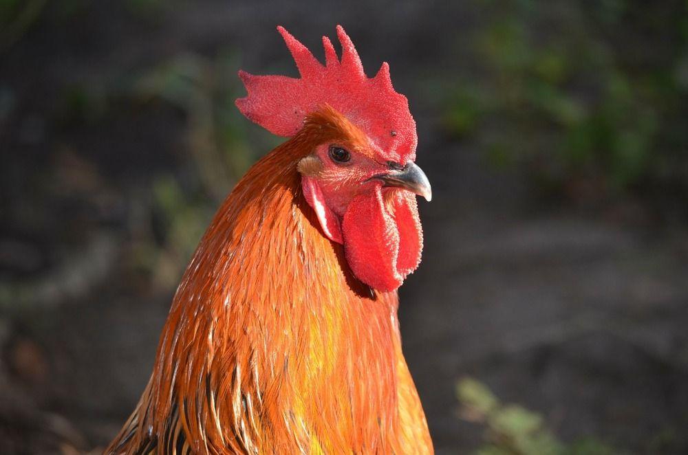 Во многих культурах петухи считались священными птицами и символизировали хорошие качества, например, воинскую доблесть.